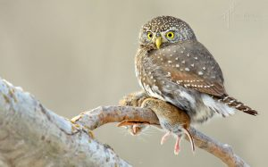 NorthernPygmyOwl - T.Hopwood